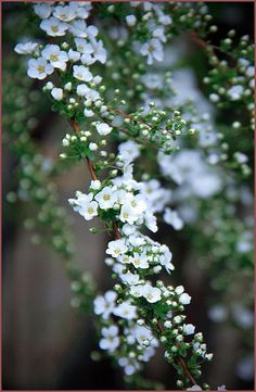 Bridal wreath spirea.Thunberg Spirea | Breath of spring spirea | baby's breath spirea (Spiraea thunbergii) ユキヤナギ