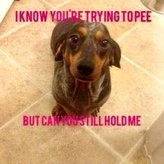 yes, how can I be of service? I can so relate to this.My Dachshund ALWAYS wanting to be held when I have to pee lol Dachshund Funny, Dachshund Puppies, Weenie Dogs, Dachshund Love, Funny Dogs, Cute Puppies, Cute Dogs, Dogs And Puppies, Funny Animals