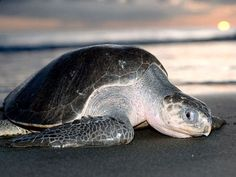 Of the half a million Olive Ridley sea turtles that hatch every year, only 5% make it past waiting predators to the safety of the sea.    Image by: animalofthewould.wikia.com