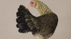 Chicken by Alex ten Napel