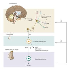 Hypothalamic Pituitary Adrenal (HPA) Axis A set of actions and reactions between the hypothalamus and the pituitary and adrenal glands. They relate to the effects of stress on the functions of body.