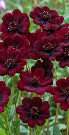 Chocolate Cosmos - deep, deep red & they really do smell like chocolate