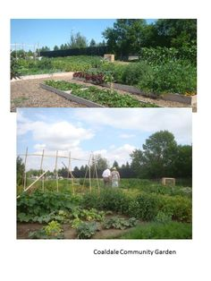 Coaldale Community Garden - Great Harvest at the End of 1st Year