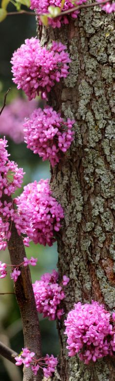 Red Bud Blossom Balls - this beautiful little tree blooms not only on its branches, but also right on the trunk itself.