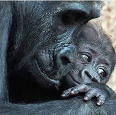 Baby Gorillas, Ape Monkey, Mama Cat, Exotic Pets, Exotic Animals, Baby Kittens, Chimpanzee, Primates, Baby Animals