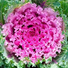 Mountain Valley Seeds, Flowering Kale, Full Sun Annuals, Fall Window Boxes, Cabbage Seeds, Dwarf Plants, Ornamental Cabbage, Prairie Garden, Growing Seeds