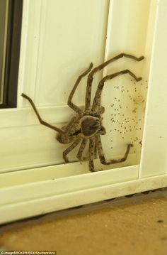 Huntsman spiders eat flies and other small insects- Look at the size of that thing. Oh hell no.