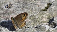 bilder von schmetterlingen Moth, Insects, Animals, Animaux, Animal, Animales, Animais