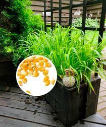 Terassikasvit popcornista   Meillä kotona Popcorn, Projects To Try, Make It Yourself, Garden, Flowers, Plants, Garten, Lawn And Garden, Gardens