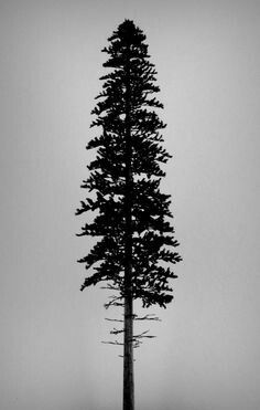 ponderosa pine - cool because they adapt to fire, that's why they aren't fluffy until the top.