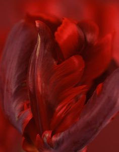 artemisdreaming: Tulipa 'Rococo' Ron van Dongen Good night all Red Flowers, Red Roses, Flower Petals, The Rouge, I See Red, Simply Red, Red Aesthetic, Arte Floral, Shades Of Red