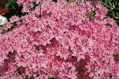 Azaleen vermehren | Gartenträume