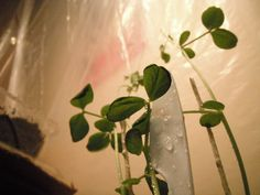My Snap Peas, getting a little help from my work upcycled plastic knife