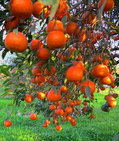 Memory of Oranges . when there used to be orange groves for miles and miles and the sweet smell of blossoms. Old Florida, Vintage Florida, Beautiful Fruits, Beautiful Flowers, Kumquat Tree, Florida Oranges, Orange Grove, Fruit Photography, Exotic Fruit