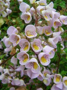 Jovellana punctata 'teacup flower'