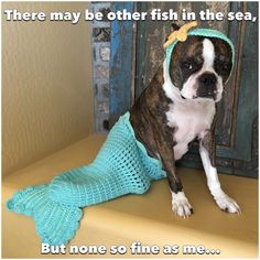 There may be other fish in the sea, but none so fine as me... Boston Terrier beauty, this dog's got it!
