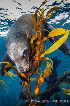 California sea lion (Zalophus californianus) - Andy and Allison Sallmon