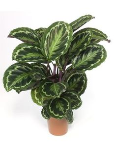 Calathea roseopicta 'Medallion', AKA Prayer Plant - Cat safe