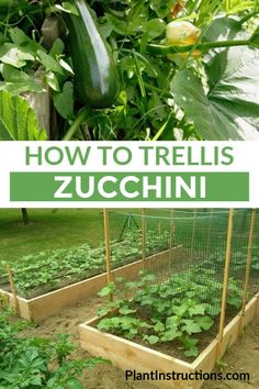 Trellis Zucchini If you like growing zucchini, you'll love learning about the space saving method of how to trellis zucchini. via you like growing zucchini, you'll love learning about the space saving method of how to trellis zucchini. Bean Trellis, Tomato Trellis, Cucumber Trellis, Diy Trellis, Garden Trellis, Trellis Fence, Privacy Trellis, Clematis Trellis, Wall Trellis
