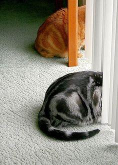Американская короткошерстная кошка (фото): кошачий долгожитель Смотри больше http://kot-pes.com/amerikanskaya-korotkosherstnaya-koshka-foto-koshachij-dolgozhitel/