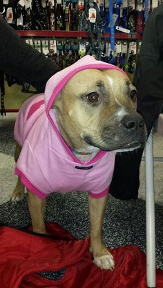 Lavinia is an adoptable Pit Bull Terrier searching for a forever family near Littleton, CO. Use Petfinder to find adoptable pets in your area.