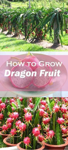 Learn how to grow dragon fruit, it's one of the most strange looking…