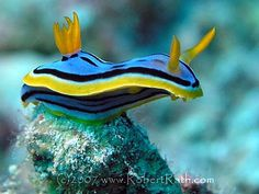 nudibranch.jpg  from the cutereport.com  and robertRath.com  Thanks all!