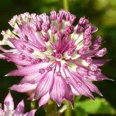 Astrantia Major Claret - AT&T Yahoo Image Search Results