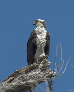 2014 Photograph, Osprey or Fish Hawk (Pandion haliaetus) Guarding the Nest. Occoquan Bay NWR, Woodbridge, Virginia. © 2014.  There were several crows nearby.
