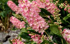 Clethra alnifolia 'Ruby Spice', Summersweet – Dancing Oaks Nursery and Gardens Bushes And Shrubs, Garden Shrubs, Shade Garden, Gardening Zones, Gardening Tips, Large Plants, Plant Nursery, Container Plants, Plant Care