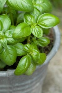 Growing Basil indoors.  I'm sooo going to do this once the big move is over!