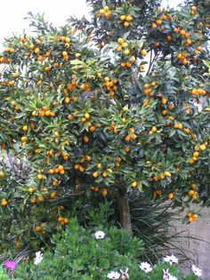 Pruning citrus | Organic Gardener Magazine Australia