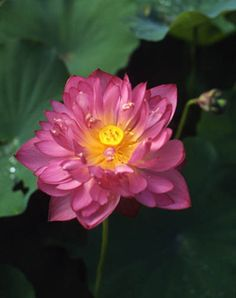 Chinese Double Rose Lotus