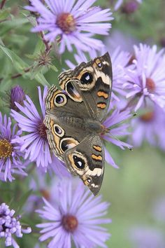 Buckeye butterfly on purple aster