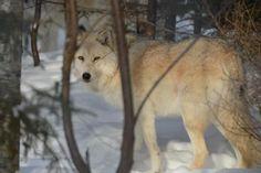 Nature en Images 3: Dormir au pays des loups - Frawsy