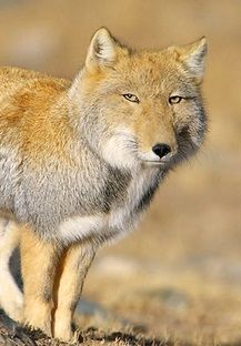 Tibetan fox... Is tired of your shit.