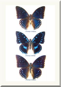 Bits and Bugs - Charaxes trio , $95.00…