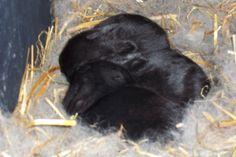 Nest Box Info - Brick House Acres Rabbitry Rabbit Nesting Box, Nesting Boxes, Rabbit Colors, Nest Box, Black Bear, Genetics, Rabbits, Homesteading, Grid