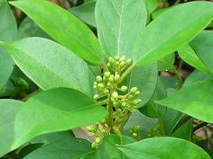 Benefits, Properties, Dosage and Side Effects of the Herb Gymnema Sylvestre and Its Common and Traditional Uses for Various Health Issues Plant Images, Lower Blood Sugar, Medicinal Plants, Herbal Medicine, Plant Care, Side Effects, Ayurveda, Health Benefits, Diabetes