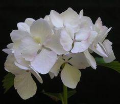 Hydrangea macrophylla 'Soeur Thérèse' is one of the better pure white mopheads, each ray floret having a pale blue eye. Hydrangea Macrophylla, Hydrangea Shrub, Hydrangea Not Blooming, Hydrangea Garden, Hydrangeas, Nikko Blue Hydrangea, Smooth Hydrangea, Green Hydrangea, Hydrangea Flower Pictures
