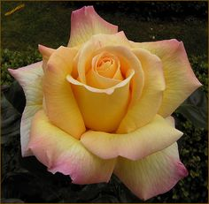 """Peace Rose - Type: Hybrid Tea -  History: 1935 by Frances Meilland -  Mature size: 6' x 3' -    Bloom size: A whopping 6""""!    Blooming: Repeats -    Scent: 6+    Pruning: Hard prune in early spring while dormant - #own"""
