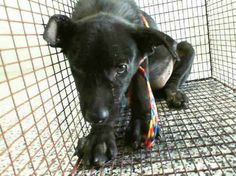 Just a puppy: 3 month old Labrador retriever at busy California shelter