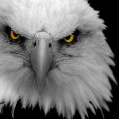 .Aguila - Animal -> Por: Angel Catalán Rocher! CLICK -> pinterest.com/AngelCatalan20/boards/ <- Sígueme!