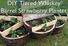 Tiered Whiskey Barrel Strawberry Planter... great idea... love the kids measuring... <3