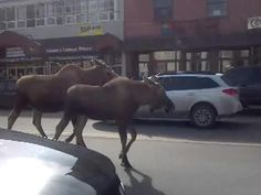 PHOTOS: Get out of the Way, Moose   User Submitted Photos - KTUU.com Anchorage