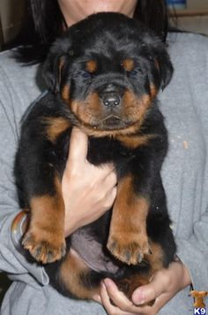 rottweiler puppy. nothing is cuter than this!