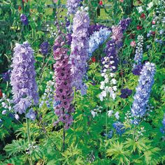 Delphinium hybridum 'Magic Fountains Mixed' - Cottage Garden Plants - Van Meuwen. Have bought some mixed Delphinium seeds, so I might see how they go. For the front.