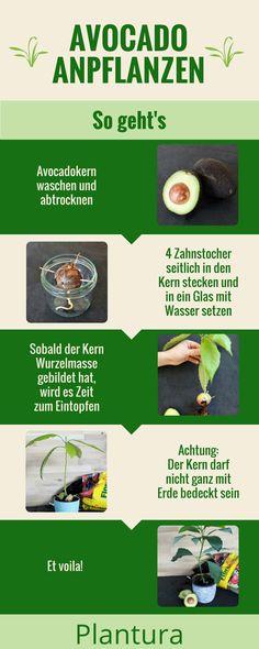 Avocado anbauen ist gar nicht so schwierig. Zum Anpflanzen braucht man lediglich einen Avocadokern und etwas Geduld. Eine genaue Anleitung findet Ihr auf Plantura.