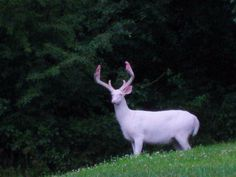 A picture of an albino white tail deer my dad took a while back. - Imgur