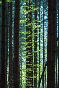 Beech Tree In Spruce Forest